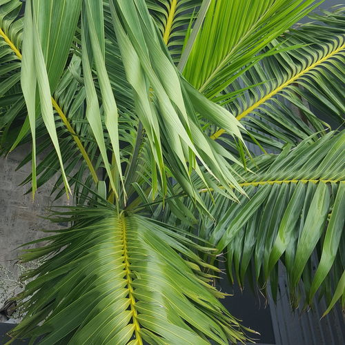 Frond Leaf Palm Tree Fern Backgrounds Tropical Climate Close-up Plant Green Color Green Droplet Natural Pattern Greenery Young Plant Water Drop Lush - Description Grassland Dew Detail Web Pink Vegetation Countryside Blossoming  Lush Leaf Vein Foliage Spring Botanical Palm Leaf