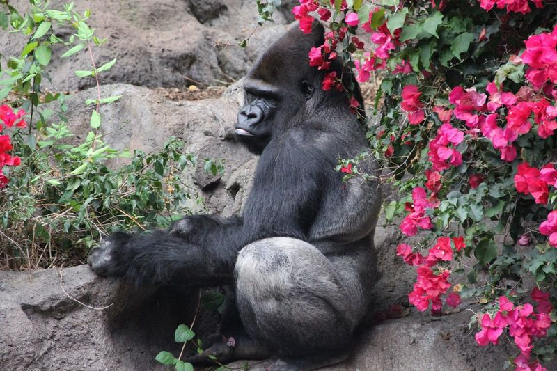 Gorilla by pink flowers at zoo