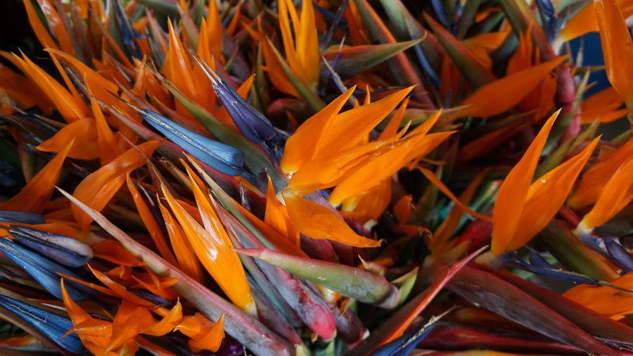 Paradise Flowers Backgrounds Beauty In Nature Blue Flower Bouquet Close-up Decoration Flor De Paraiso Flower Flower Arrangement Flowers Home Decoration  No People Orange Orange Color Orange Flower Paradise Flowers Purple