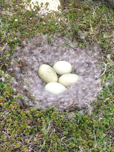 Nest Wildlife Bird Egg Duck Plant High Angle View Nature Green Color Grass Day No People Land Outdoors Field
