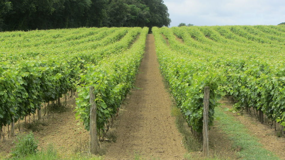 GR65 Winefields Agriculture Beauty In Nature Crop  Cultivated Land Day Field Footpath Frankreich Grass Green Color Growth In A Row Jakobsweg Nature No People Outdoors Rural Scene The Way Forward Tranquil Scene Tranquility Tree Vineyard Weinanbau