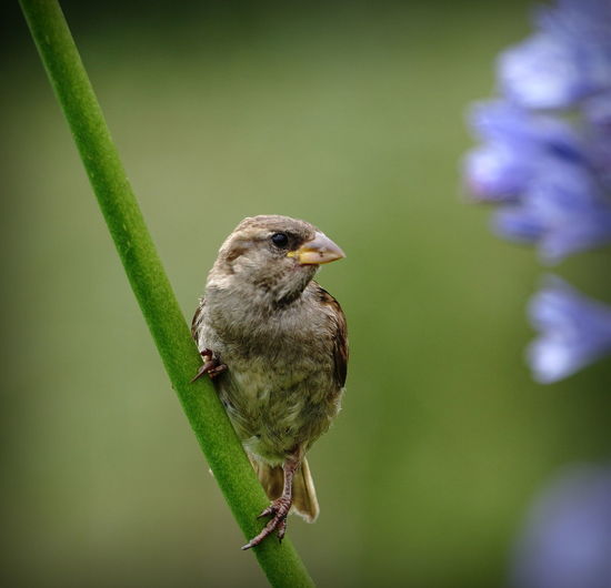 Sparrow on stem by agapanthus flower Looking Away Animal Themes Bird Female Flower Stem House Sparrow Out Of Focus Background Passer Domesticus Perching On Stem