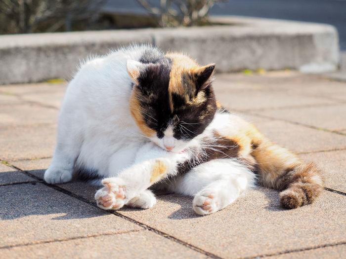 Tortoiseshell cat stretching on footpath