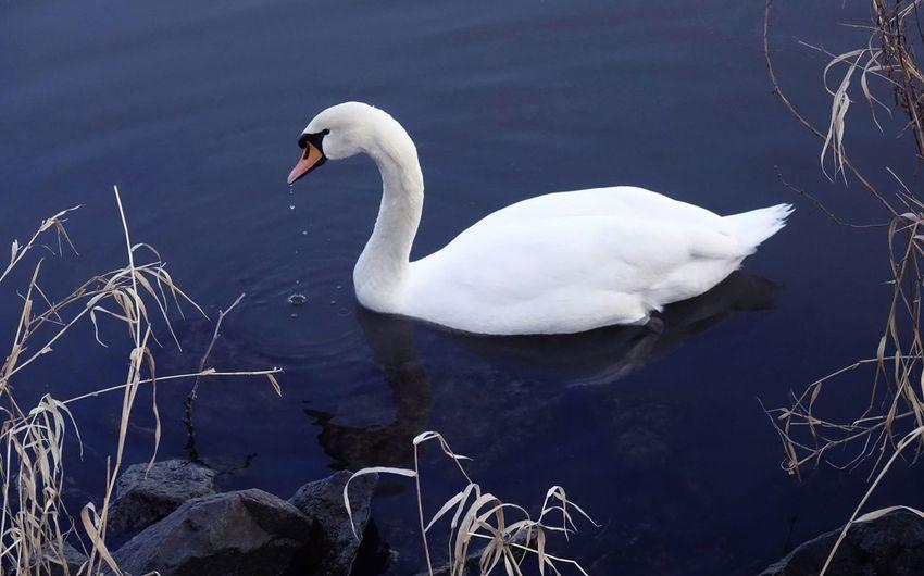 Swanlake Animal
