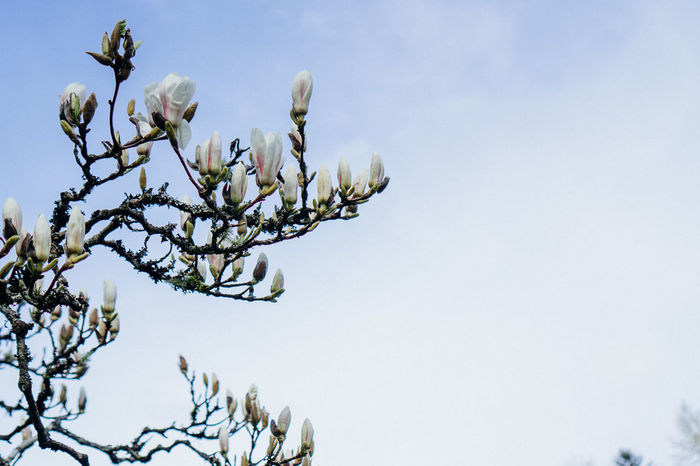 Beauty In Nature Blooming Blossom Blue Blue Sky Branch Branches Clear Sky Close-up Day Flower Flower Head Fragility Freshness Growth Low Angle View Magnolia Nature No People Outdoors Plant Sky Tranquil Scene Tranquility Tree