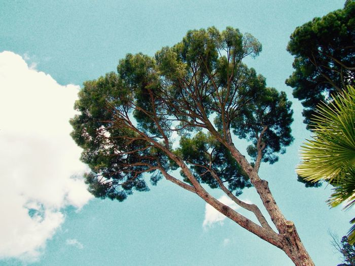 Garden of Villa Torlonia Beauty In Nature Branch Clear Blue Close-up Day Growth Low Angle View Nature No People Outdoors Palm Tree Pine Tree Scenics Sky Sky And Clouds Summer Tree Tree Trunk