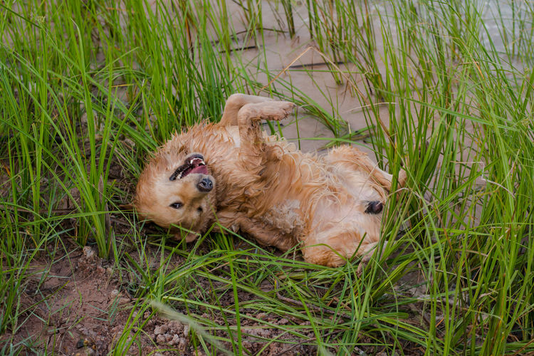 happy, muddy, and wet golden retriever in the outdoors, Adventure Animal Ball Cooling  Countryside Cute Dirt Dirty Dog Domestic Forest Fun Golden Happy Heat Hike Look Mammal Messy Mud Muddy Nature Outdoor Outdoors Outside Park Paws Pet Play Playful Playing Portrait Puddle Pure Retriever Road Sitting Vertical Water Wet Yellow Grass Plant Animal Themes Pets Canine Green Color