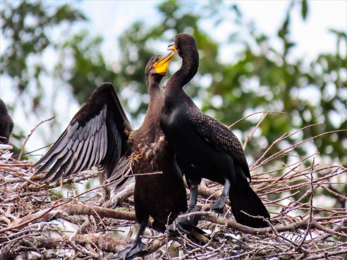 These two cormorants appear to be dancing birdwatching closeup treetops animals in the wild animal themes birds of EyeEm beauty in nature focus on the foreground Two Animals No People