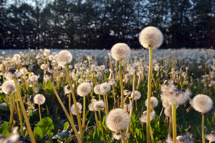 Dandelion puff ball field in evening sun Beauty In Nature Blowball Close-up Dandelion Dandelion Collection Dandelion Field Dandelion Seed Evening Sun Field Flower Flower Field Flower Head Fragility Growth Meadow Nature No People Outdoors Plant Puff Ball Sommergefühle