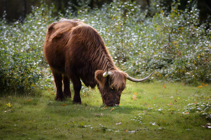 scottish cattle, highland cow Animals In The Wild Eating Field Livestock Nature Scottish Cattle Standing Animal Themes Animals Cow Day Domestic Animals Forrest Highland Cow Mammal No People Outdoors