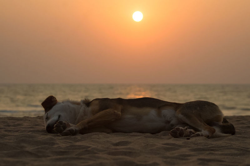 Dog sleeping on a beach during sunset - Goa, India Beach Dog Beach Sunset Canine Dog Dreaming Goa India Island Island Life Island Time Lazy Lazy Dog Lying Nap Napping Paradise Paradise Beach Passed Out Sand Siesta Sleeping Sleeping Dog Stray Dog Sunset Wild Dog