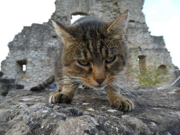Castle guard 👻 One Animal No People Mammal Outdoors Day Animal Themes Animal Wildlife Close-up Nature Cat Castle Luxembourg Müllerthal Luxemburg Ruins Of A Castle Ruines Larochette Katze Ruine Burg EyeEm Best Shots