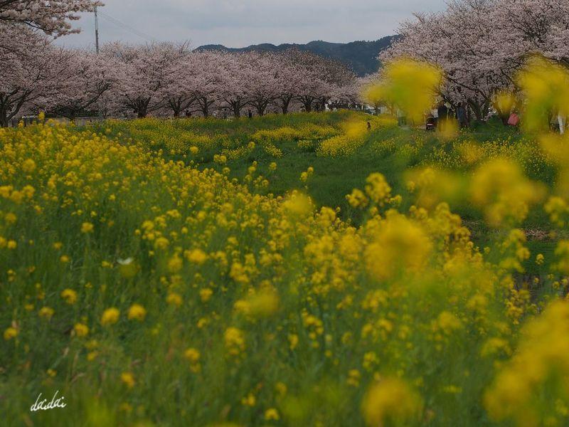 花が綺麗と笑うのは君がいい E-PL3 Flower Cherry Blossoms 桜 菜の花 Noedit