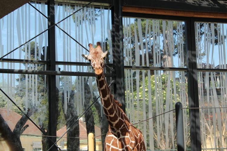 Girafe Giraffe