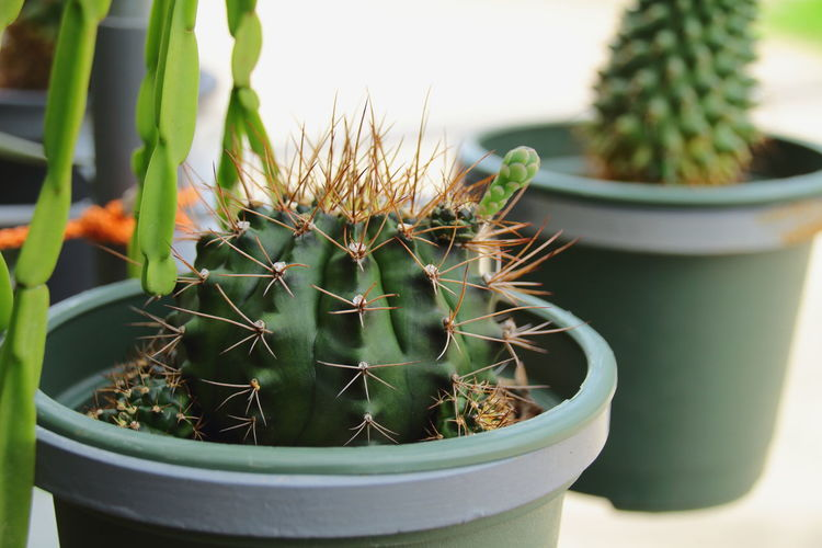 Cactus Growth Plant Potted Plant Nature Close-up No People Day Outdoors Beauty In Nature Green Color Greenhouse Prickly Pear Cactus Freshness Freshness Focus On Foreground Tree Cactusplants Cactus Paradise Cactus Tree Flower Head Beauty In Nature Green Color Growth Nature
