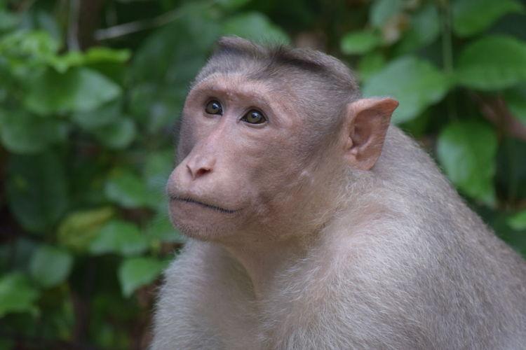 Monkey's Face -