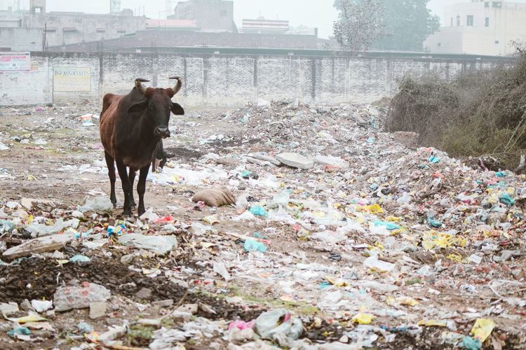 The dirty truth InMakin! Randomness Dirt Dirty Truth Garbage Stray Animal Cattle Stray Cattle One Animal Animal Themes Mammal No People Day Outdoors Stories From The City End Plastic Pollution
