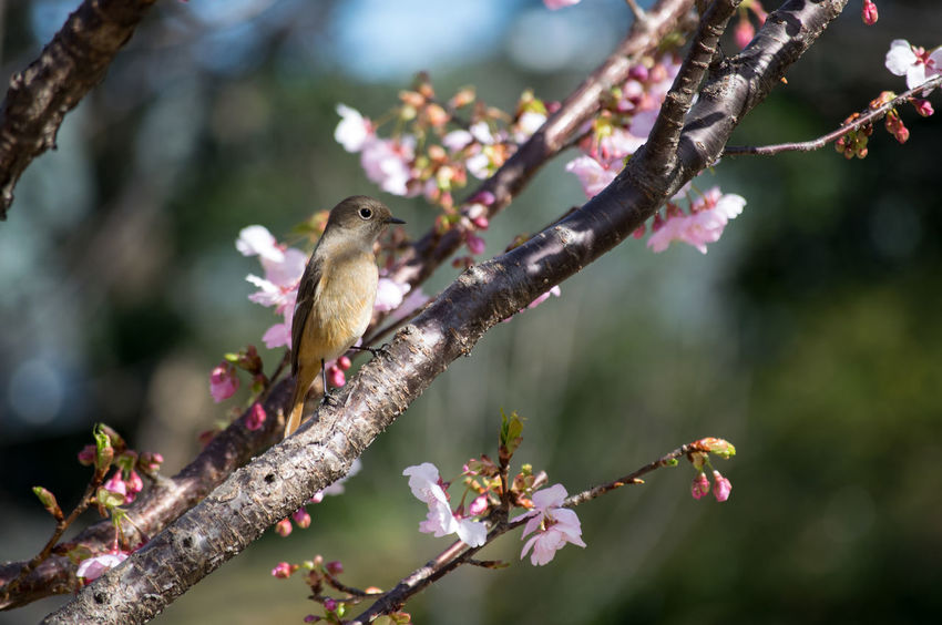 The female of Darien redstart also came to Itoh Komuro cherry tree early bloom! ジョウビタキのメスも早咲きの伊東小室桜にやってきた! Animal Animal Themes Animal Wildlife Animals In The Wild Beauty In Nature Bird Branch Day Flower Focus On Foreground Food Full Length Nature No People One Animal Outdoors Perching Songbird  Tree Sakura2017 伊東小室桜 ジョウビタキ Darien Redstart