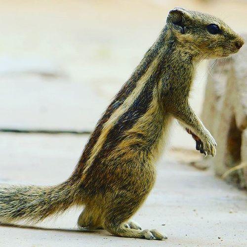 Squirrel squirrels Beauty Beautyful  Beautycaremurah Hdr_captures HDR Hdr_pics Hdr_lovers Beautyful  Jaipurdiaries🎀 Jaipurdiaries Panasonic  Fz200 mammals Dausa