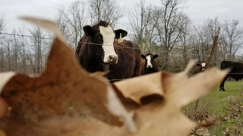 Rural Scene This Week On Eyeem EyeEm Best Shots Thru The Fence Old-fashioned Country Living EyeEmbestshots EyeEm Selects Tree Sky Cow Farm Animal Cattle