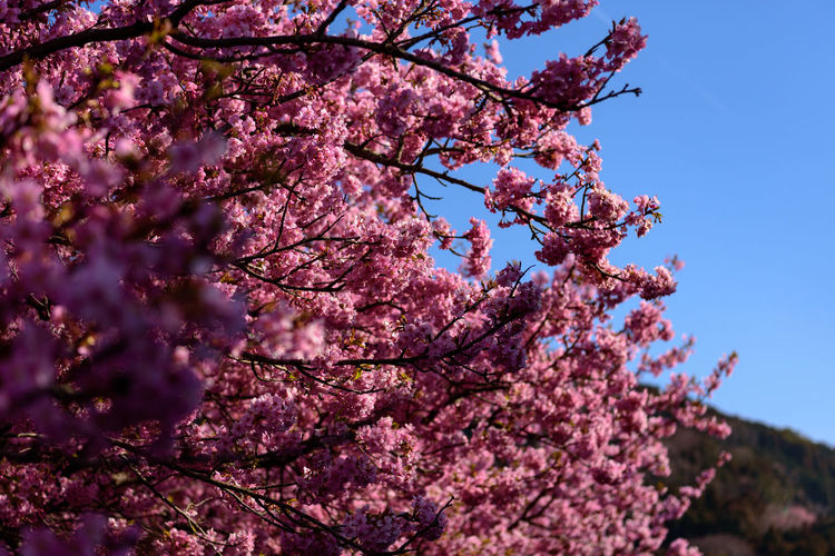 Plant Tree Flower Flowering Plant Growth Blossom Pink Color Fragility Springtime Branch Beauty In Nature Low Angle View Freshness Nature Vulnerability  Sky Day Cherry Blossom No People Cherry Tree Outdoors Spring Kawazu-zakura