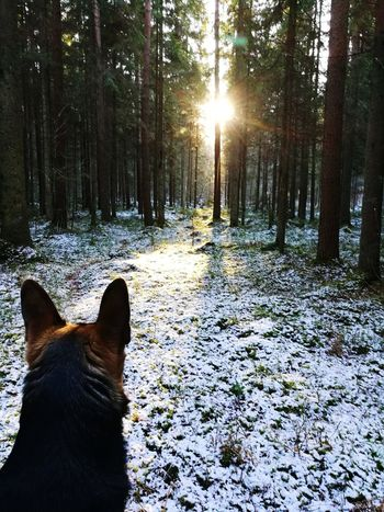 Forest Wood East European Shepherd One Animal Domestic Animals Animal Themes Tree Dog No People Winter Nature Outdoors Cold Temperature Day Pets Sunlight Snow Beauty In Nature Shades Of Winter