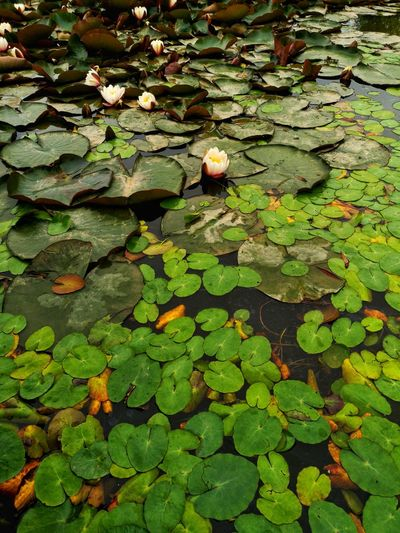 View of leaves floating on water