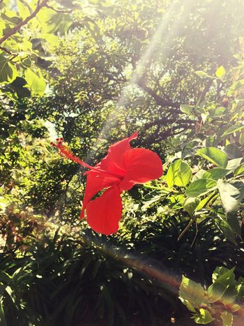 Flower Flower Head Red Green Leaves Nature Garden Sunlight Sun Bleached Light And Shadow Sun Rays Vivid Tavira Portugal Iphone 6 IPhoneography