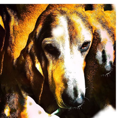 Cooper photoshopped Enjoying Life Relaxing Livinandlovinlife Ilovebassethounds Bassetmoments Senior Bassethound Goodpuppydog Posing For The Camera Color Photography Color Portrait Luvthisboy