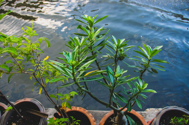 Beauty In Nature Close-up Day Focus On Foreground Green Color Growth High Angle View Lake Leaf Low Section Nature No People Outdoors Plant Plant Part Potted Plant Tranquility Treepot Water