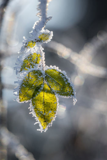 Beauty In Nature Catkin Close-up Cold Temperature Day Focus On Foreground Fragility Freshness Frozen Green Color Growth Leaf Nature No People Outdoors Plant Snow Tranquility Winter