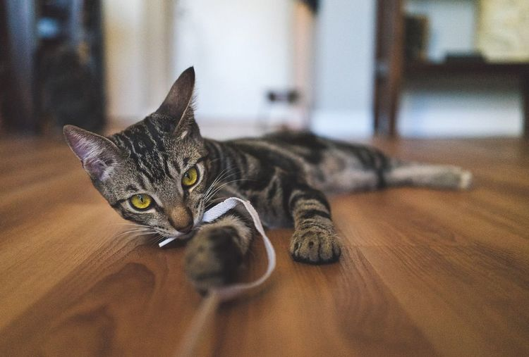 Cats you either love them or hate them. Cat Playing Depth Of Field Floor Yellow Eyes Pet Cat Eyes Kitty Playful Baby SONY A7ii