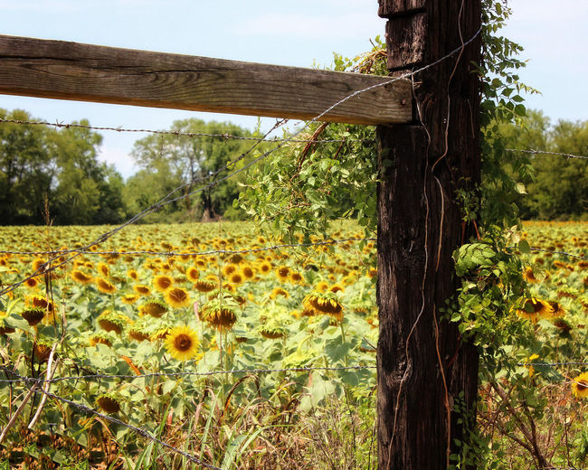 Sunflowers Behind Fence Plant Field Land Landscape Nature Growth No People Day Beauty In Nature Agriculture Yellow Outdoors Sunflowers