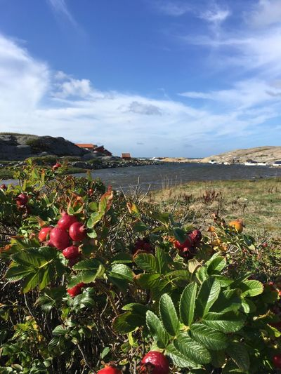 In Tjurpannans nature reserve, close to Havsstenssund. Sky Beauty In Nature Plant Cloud - Sky Nature Growth Tranquility Tranquil Scene Day Scenics - Nature No People Freshness Fruit Water Leaf Plant Part Land Red Food Mountain Outdoors Rose Hip Dog Rose Sea Bohuslän Cirrus Cirrus Clouds Blue