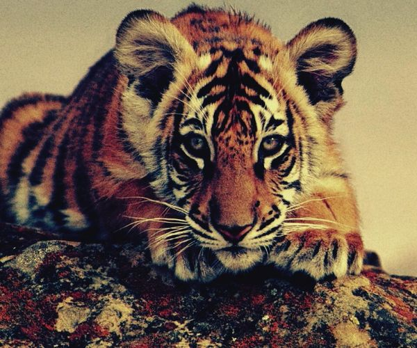 A tiger resting Endangered Species Undomesticated Cat Resting Tiger First Eyeem Photo