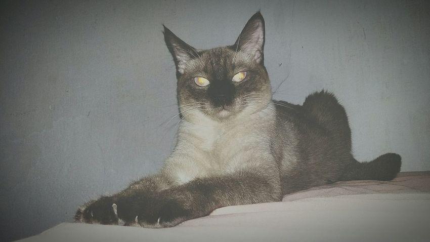Sagua ❤ Loveanimals❤️ Lovecats MyLittleCat 💕 🐱 LoveSoMuch♡ Braziliancat