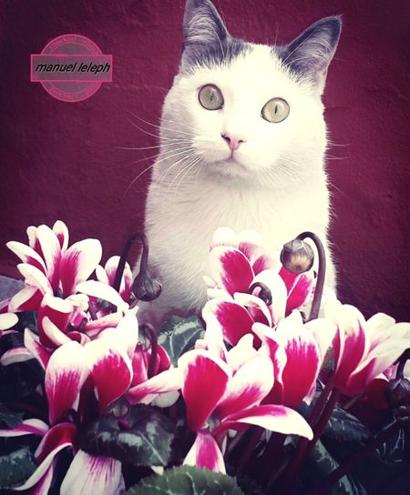 Animal Themes One Animal Domestic Cat Domestic Animals Feline Animal Head  Pink Color Cat Cats Of EyeEm Catlovers Cat Photography Cats 🐱