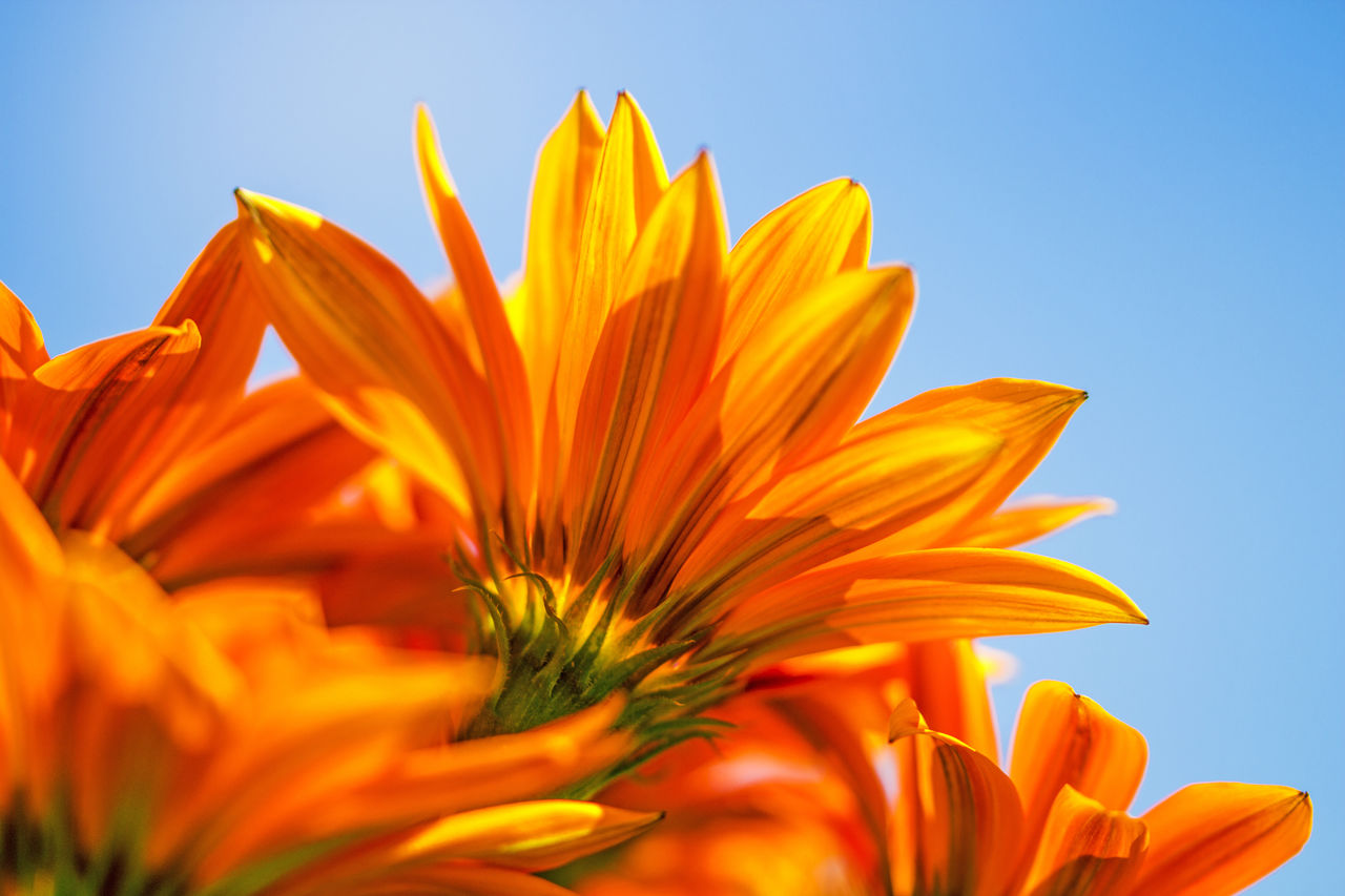 Low Angle View Of Orange Flowers Blooming Against Blue Sky