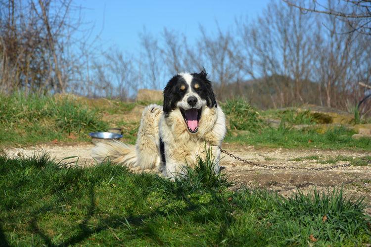 Animal Black And White Dog Cute Dog  Dog Dog Yawning Dogslife Lazy Dog Outdoors Pet Tornjak