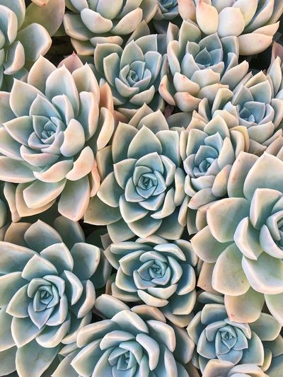 Succulent Roses Succulent Plants Petals By Nature Grey Green Plants Full Frame Looks Like A Painting Color Palette