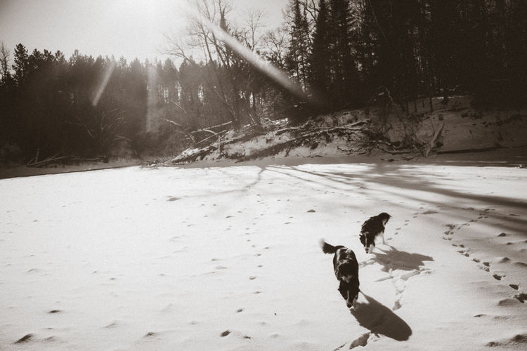 Border collies play on a frozen river bed in Minnesota Animal Themes Body & Fitness Border Collie Cold Temperature Day Dog Domestic Animals Landscape Mammal Nature No People Outdoors Pets Snow Tree Winter