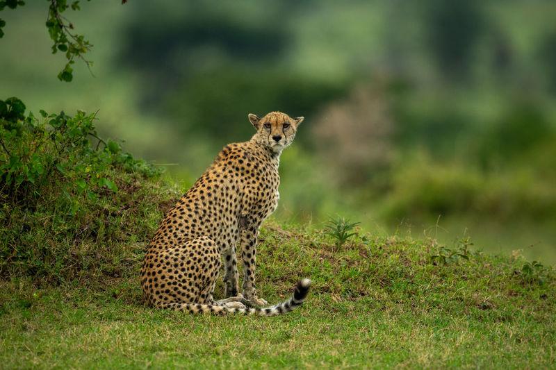 Cheetah sits by grassy bank watching camera
