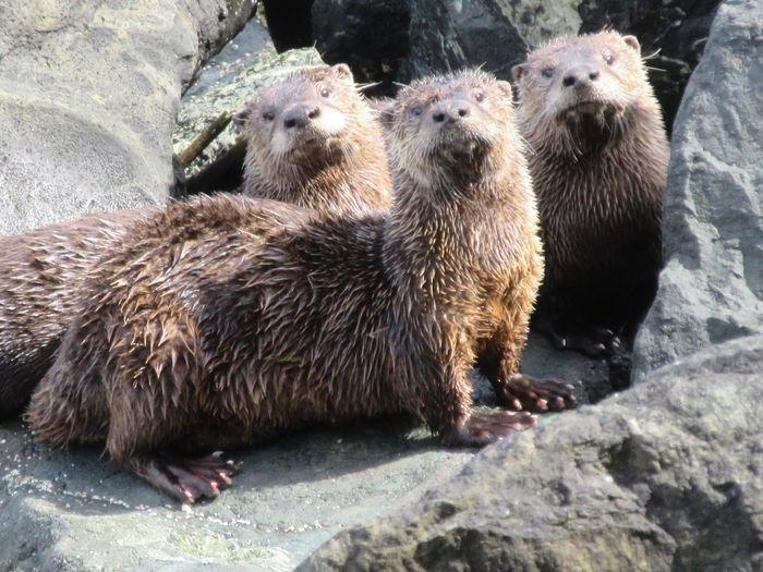 Otter Trio Otter Otter Trio Salish Sea Strait Of Juan De Fuca Animal Wildlife Group Of Animals Mammal Nature Otter Family River Otters