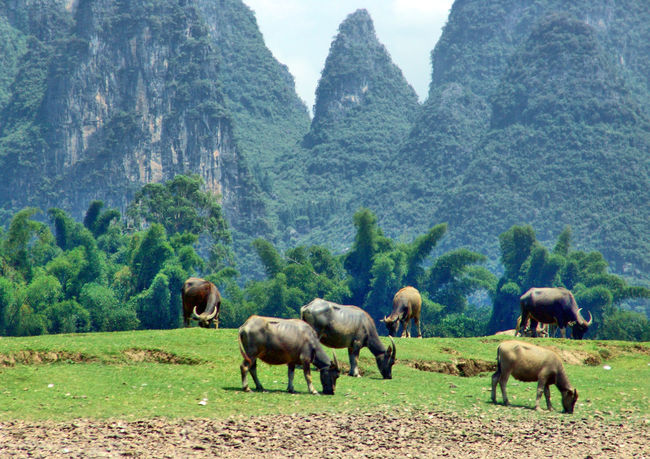 Animal Themes Animals China China Photos China View Domestic Animals Li River Outdoor Photography Outdoors River Wasserbüffel Animal Water Water Buffalo Finding New Frontiers