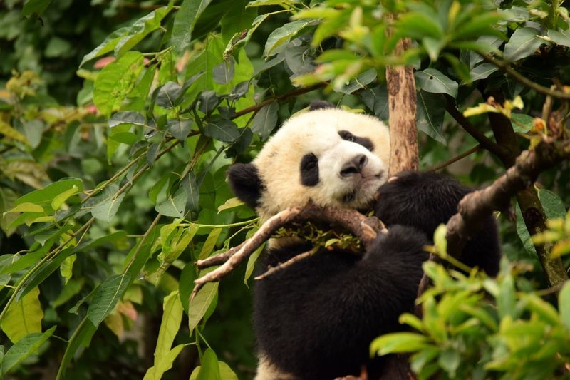 Close-up of panda on tree