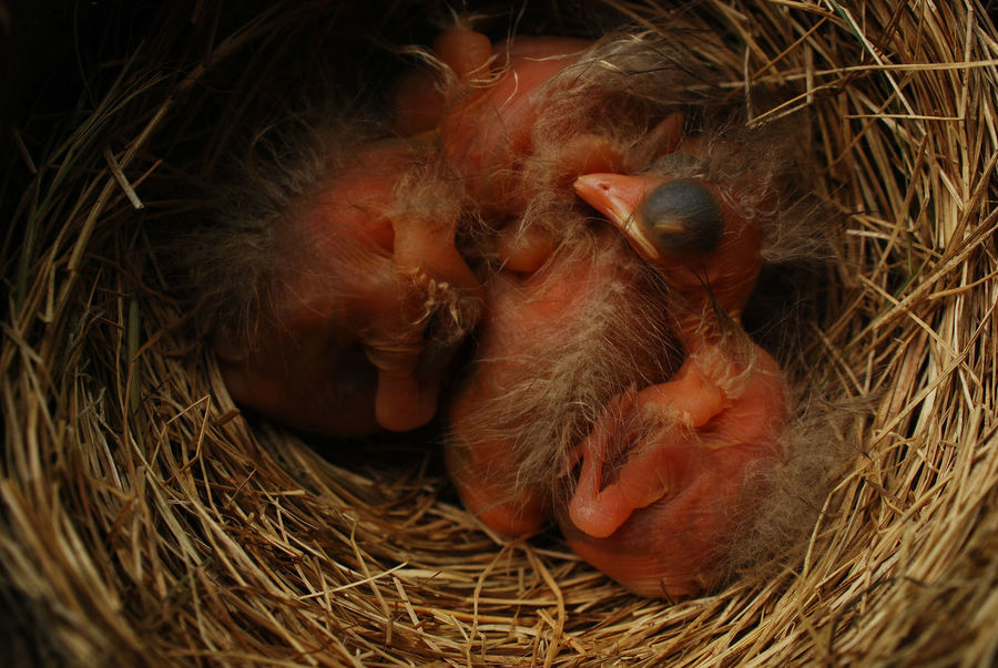 4 very young Robin hatchlings in nest--their eyes not open yet Animal Head  Animal Themes Baby Birds Bird Photography Birds Close-up Day Hatchling Nature Nest No People Outdoors Robin Selective Focus Young Animal Nature's Diversities Nature's Diversities - 2016 EyeEm Awards