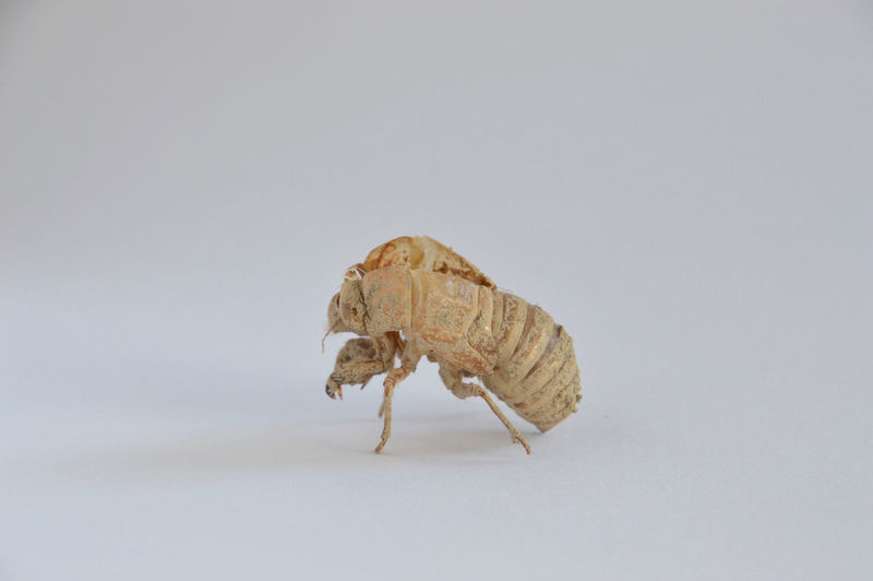 pop of a cicada, cicada shell Mybestphoto Studio Shot White Background Indoors  Cicada Shell Animal Themes Nature One Animal Cut Out No People Close-up Still Life Single Object Brown
