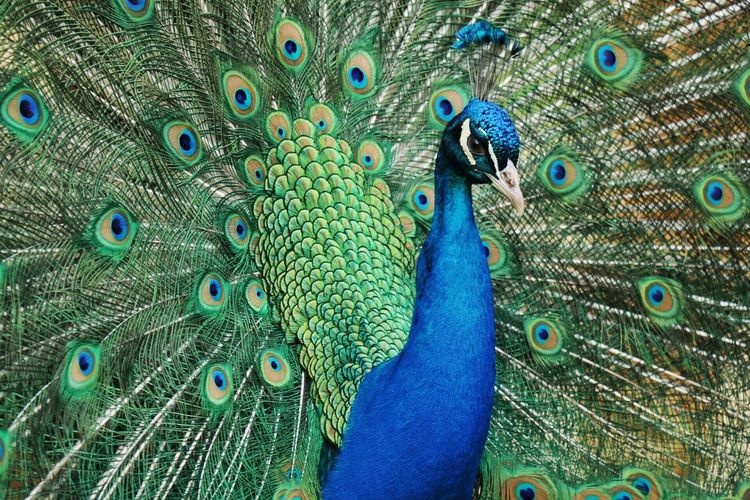 Portrait Of Peacock With Fanned Out Feathers