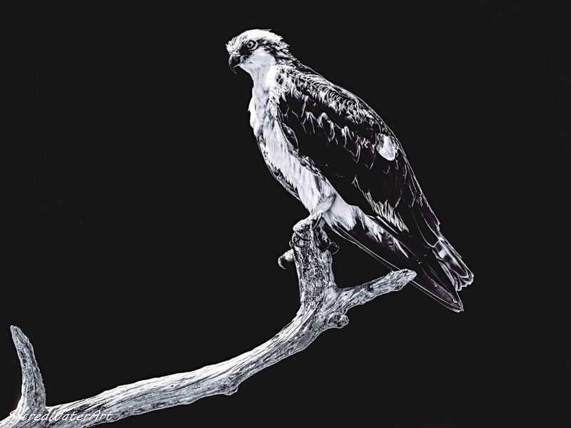 Beautiful black and white Osprey Outdoors Black Background Bird One Animal No People Studio Shot Animal Themes Biology Close-up Perching Science Bird Of Prey Day EyeEmNewHere EyeEmNewHere The Great Outdoors - 2017 EyeEm Awards