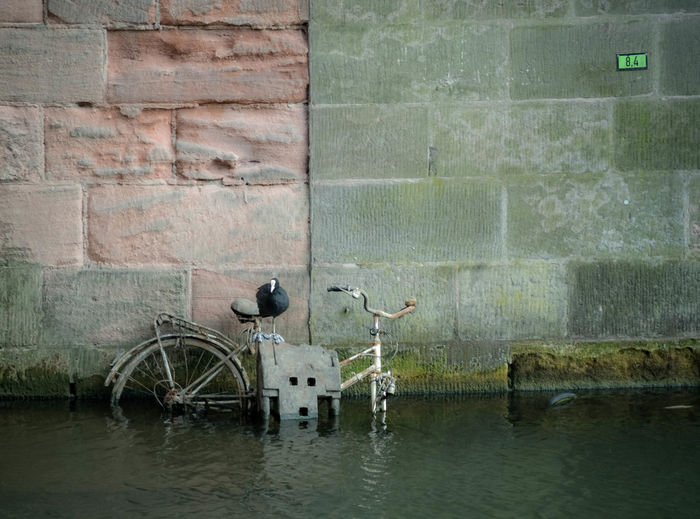 Coot perching on abandoned bicycle in canal against wall